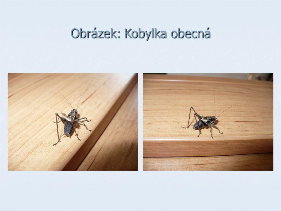 ROVNOKŘÍDLÍ ÚKOL: Srovnej stavbu těla a způsob života kobylky zelené a saranče čárkované.