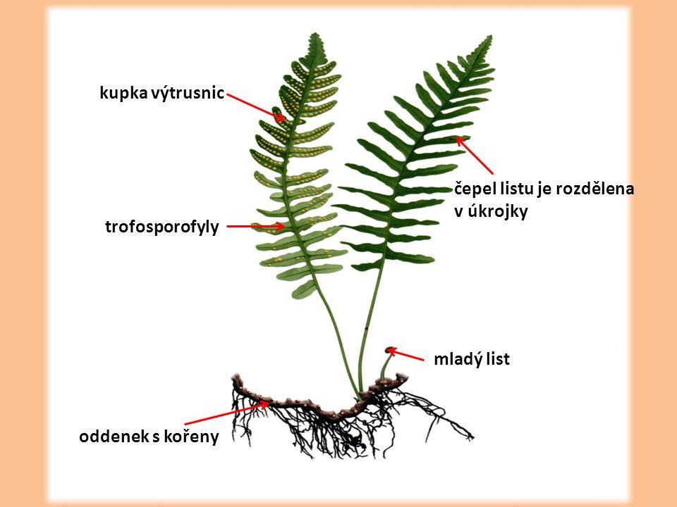 oddenek s kořeny mladý list čepel listu je rozdělena v úkrojky trofosporofyly kupka výtrusnic