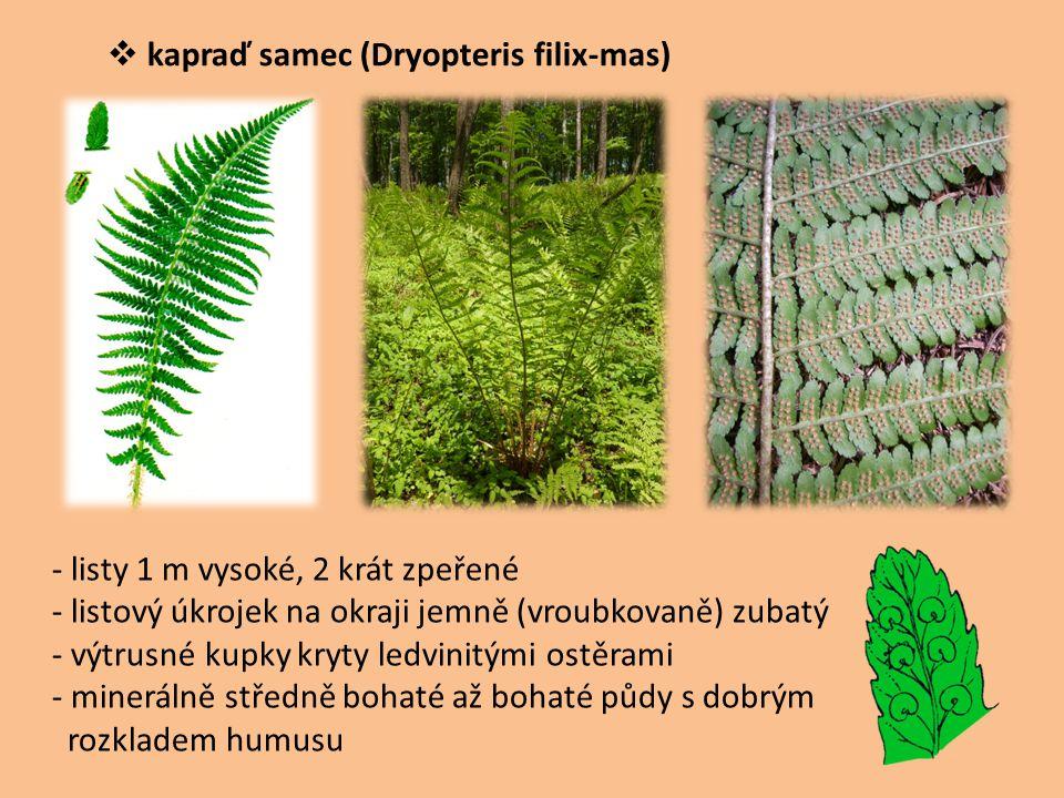  kapraď samec (Dryopteris filix-mas) - listy 1 m vysoké, 2 krát zpeřené - listový úkrojek na okraji jemně (vroubkovaně) zubatý - výtrusné kupky kryty