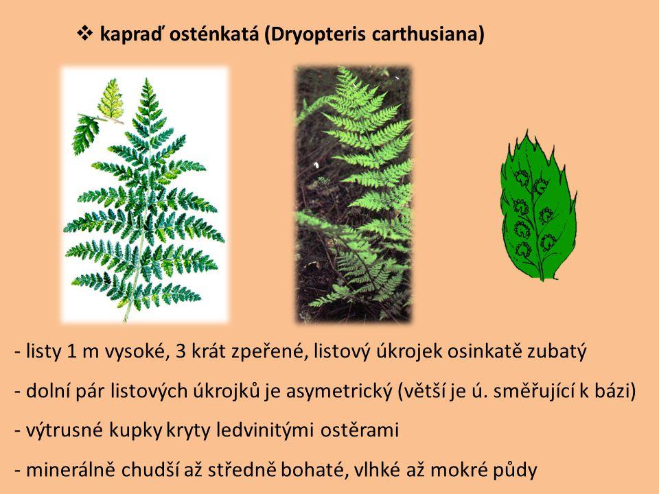  kapraď osténkatá (Dryopteris carthusiana) - listy 1 m vysoké, 3 krát zpeřené, listový úkrojek osinkatě zubatý - dolní pár listových úkrojků je asyme