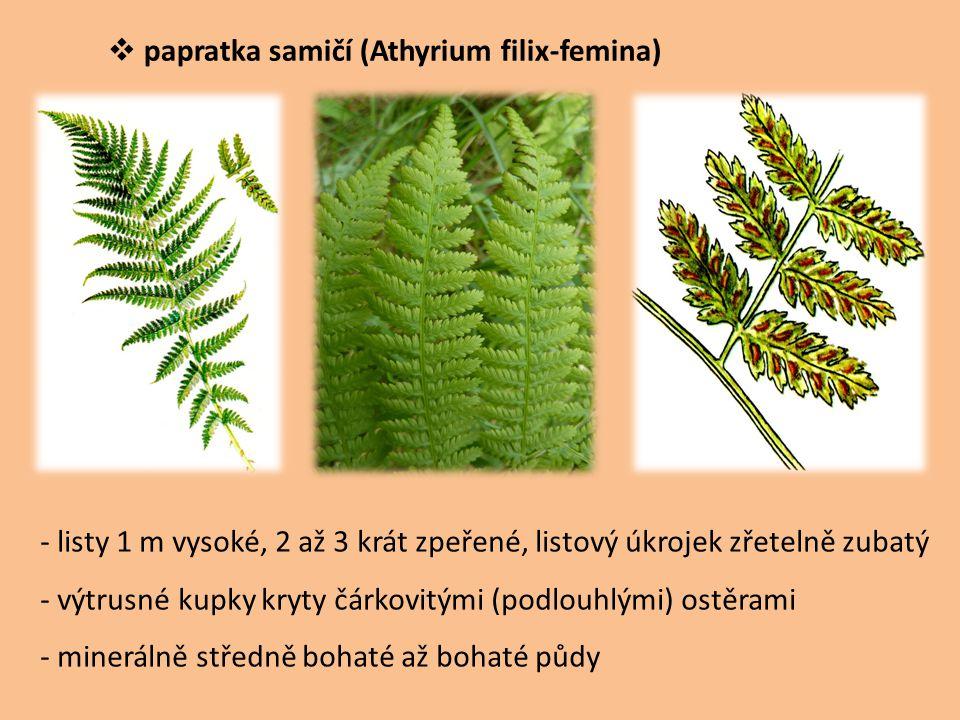 papratka samičí (Athyrium filix-femina) - listy 1 m vysoké, 2 až 3 krát zpeřené, listový úkrojek zřetelně zubatý - výtrusné kupky kryty čárkovitými