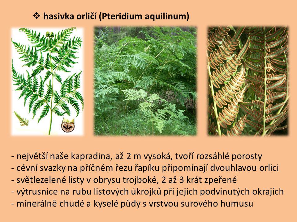  hasivka orličí (Pteridium aquilinum) - největší naše kapradina, až 2 m vysoká, tvoří rozsáhlé porosty - cévní svazky na příčném řezu řapíku připomín