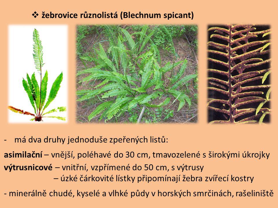  žebrovice různolistá (Blechnum spicant) -má dva druhy jednoduše zpeřených listů: asimilační – vnější, poléhavé do 30 cm, tmavozelené s širokými úkro