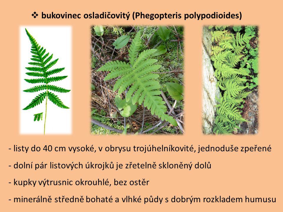  bukovinec osladičovitý (Phegopteris polypodioides) - listy do 40 cm vysoké, v obrysu trojúhelníkovité, jednoduše zpeřené - dolní pár listových úkroj