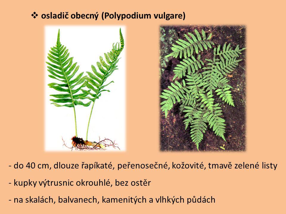  osladič obecný (Polypodium vulgare) - do 40 cm, dlouze řapíkaté, peřenosečné, kožovité, tmavě zelené listy - kupky výtrusnic okrouhlé, bez ostěr - n