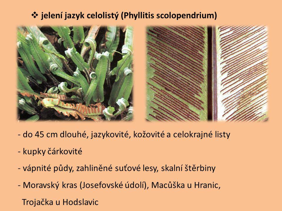  jelení jazyk celolistý (Phyllitis scolopendrium) - do 45 cm dlouhé, jazykovité, kožovité a celokrajné listy - kupky čárkovité - vápnité půdy, zahlin