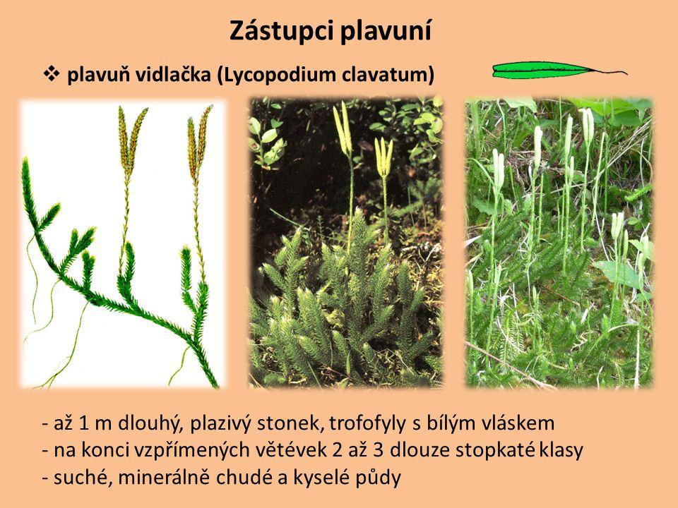 Zástupci plavuní  plavuň vidlačka (Lycopodium clavatum) - až 1 m dlouhý, plazivý stonek, trofofyly s bílým vláskem - na konci vzpřímených větévek 2 a