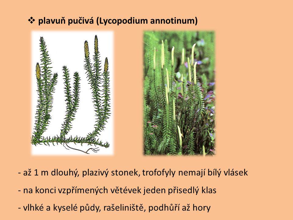  plavuň pučivá (Lycopodium annotinum) - až 1 m dlouhý, plazivý stonek, trofofyly nemají bílý vlásek - na konci vzpřímených větévek jeden přisedlý kla