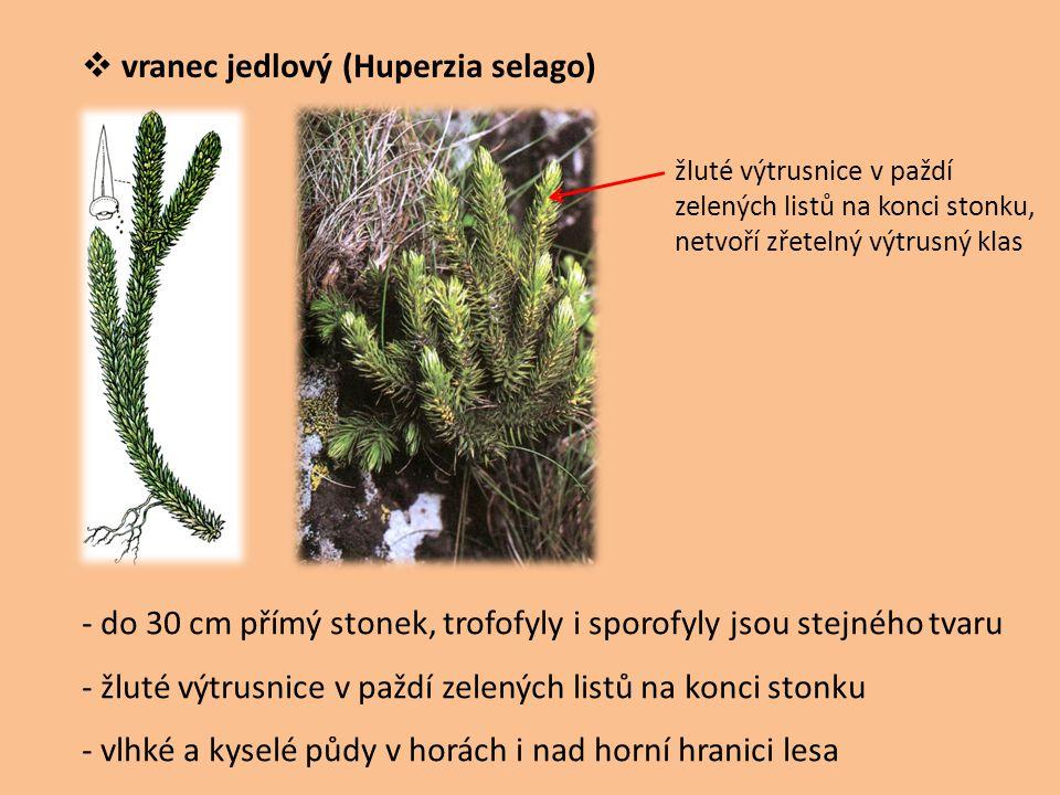  vranec jedlový (Huperzia selago) - do 30 cm přímý stonek, trofofyly i sporofyly jsou stejného tvaru - žluté výtrusnice v paždí zelených listů na kon