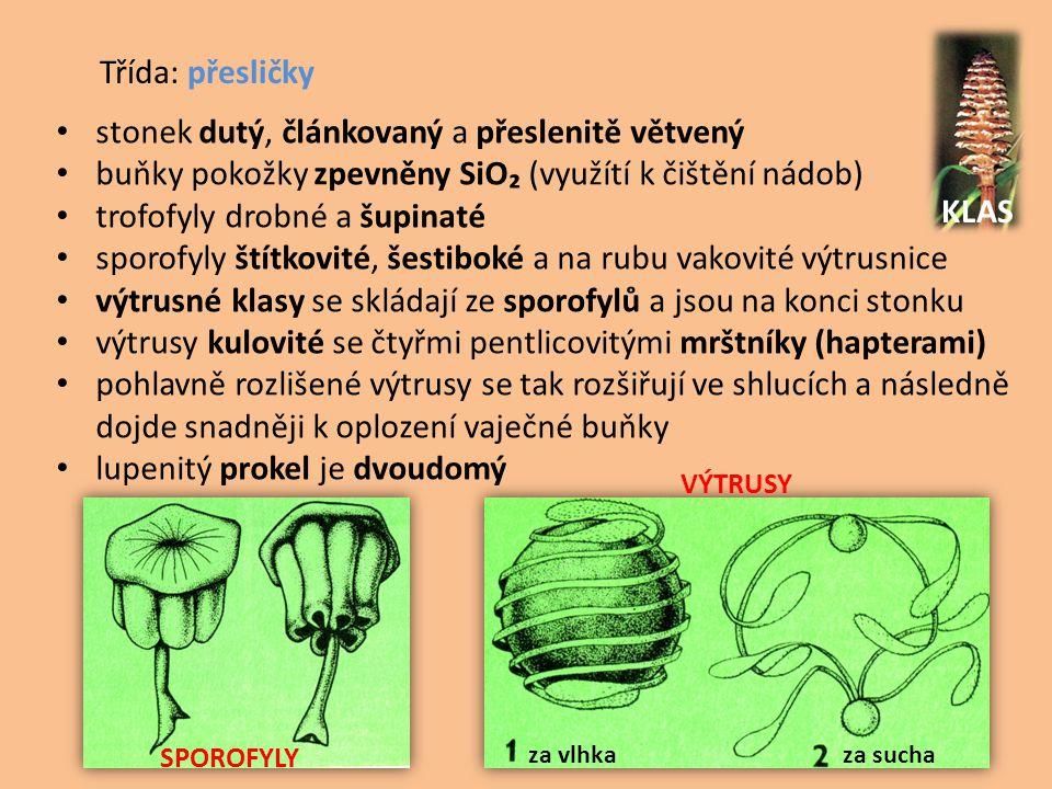 Třída: přesličky • stonek dutý, článkovaný a přeslenitě větvený • buňky pokožky zpevněny SiO₂ (využítí k čištění nádob) • trofofyly drobné a šupinaté