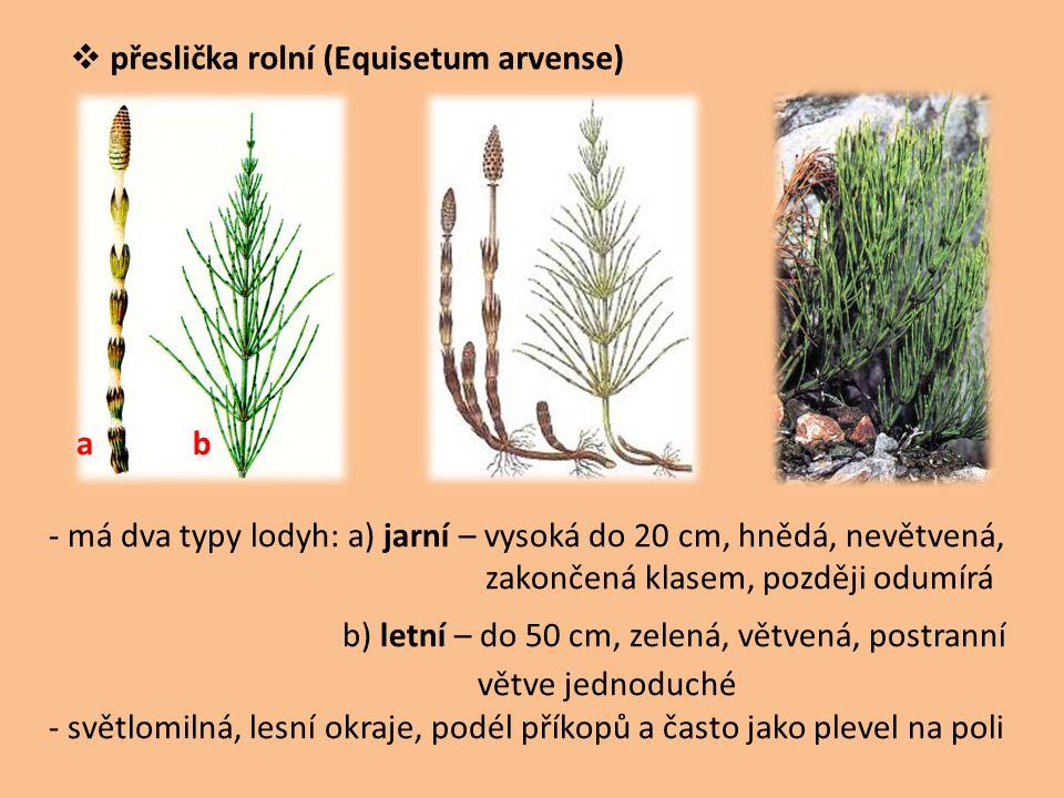  přeslička rolní (Equisetum arvense) - má dva typy lodyh: a) jarní – vysoká do 20 cm, hnědá, nevětvená, zakončená klasem, později odumírá b) letní –