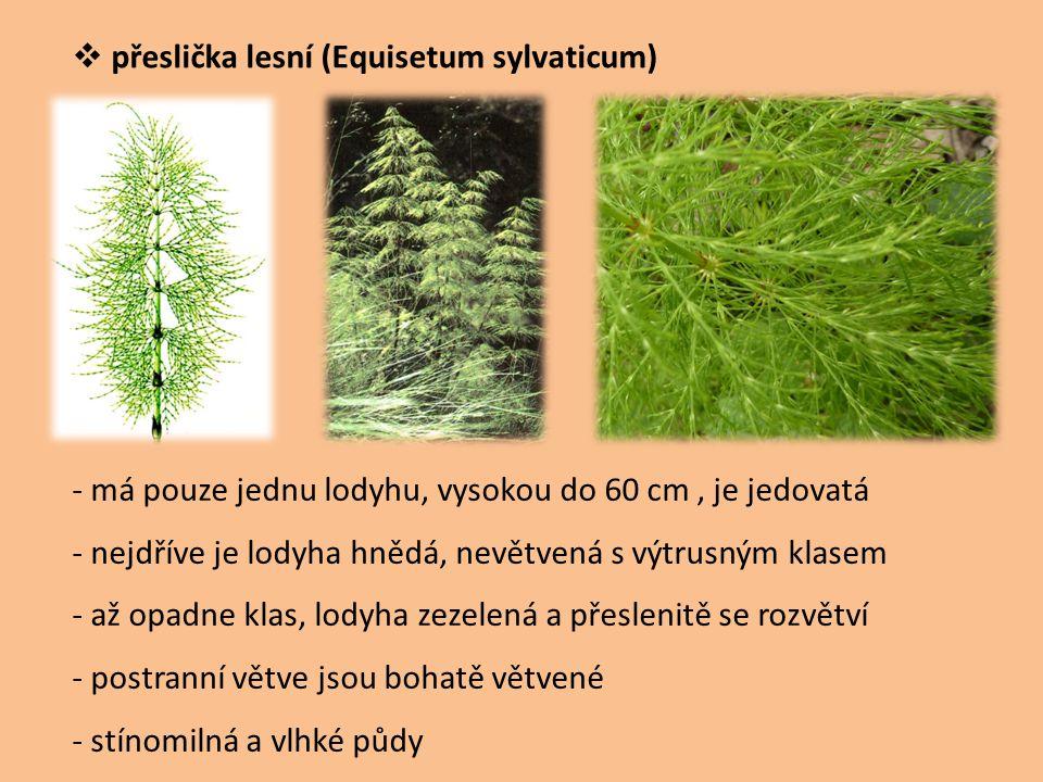  přeslička lesní (Equisetum sylvaticum) - má pouze jednu lodyhu, vysokou do 60 cm, je jedovatá - nejdříve je lodyha hnědá, nevětvená s výtrusným klas
