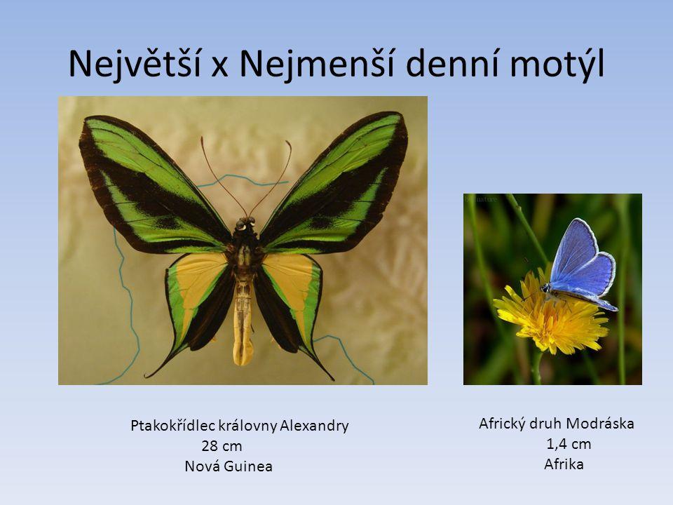 Největší x Nejmenší denní motýl Ptakokřídlec královny Alexandry 28 cm Nová Guinea Africký druh Modráska 1,4 cm Afrika