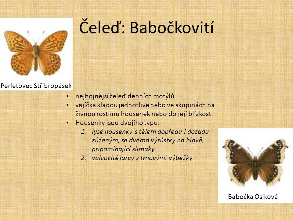 Čeleď: Babočkovití Perleťovec Stříbropásek Babočka Osiková • nejhojnější čeleď denních motýlů • vajíčka kladou jednotlivě nebo ve skupinách na živnou
