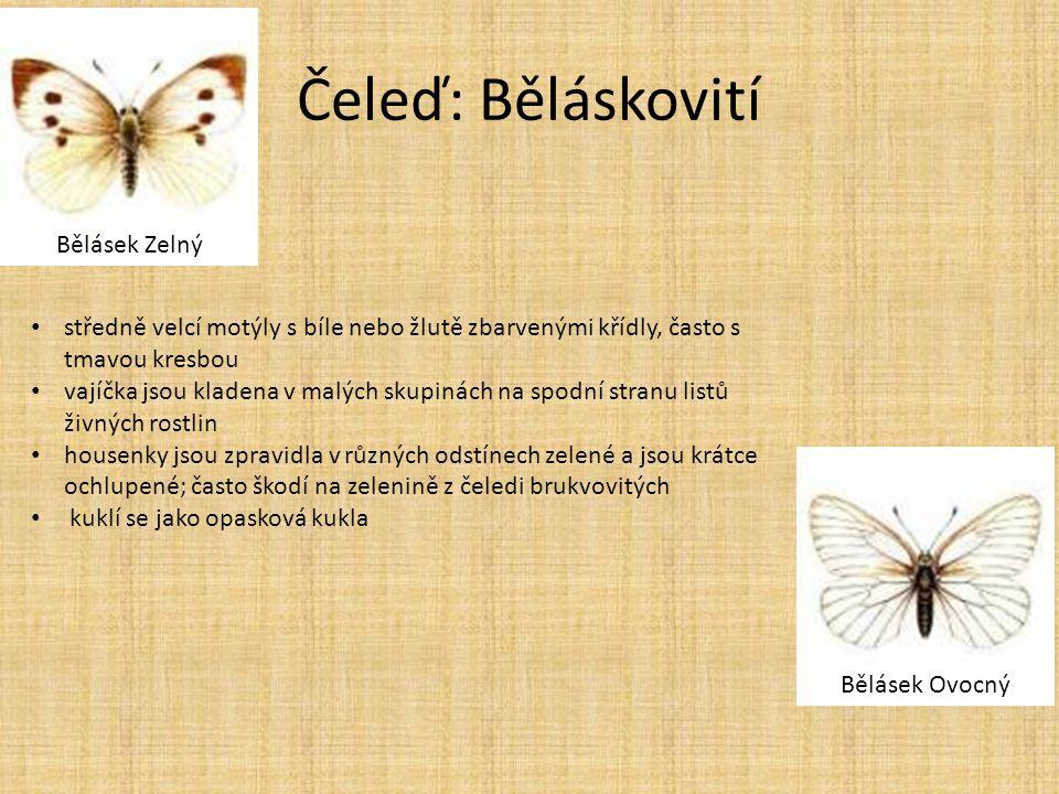 Čeleď: Běláskovití Bělásek Ovocný Bělásek Zelný • středně velcí motýly s bíle nebo žlutě zbarvenými křídly, často s tmavou kresbou • vajíčka jsou klad