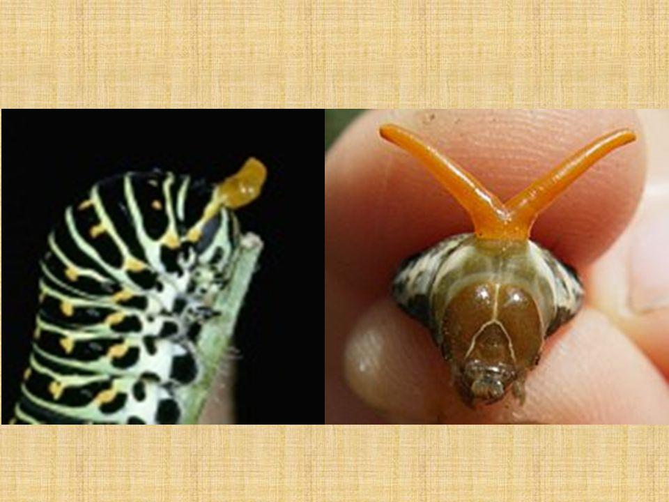 Čeleď: Okáčovití Okáč Voňavkový Okáč Meduňkový • středně velcí motýli • podčeleď Babočkovitých • málo nápadné zbarvení křídel v odstínech hnědé, okrové či červenohnědé s kruhovými skvrnami – očkama • Tělo housenek se ke konci zužuje a je zakončeno párem hrotů, jsou často pruhované a lysé případně řídce ochlupené