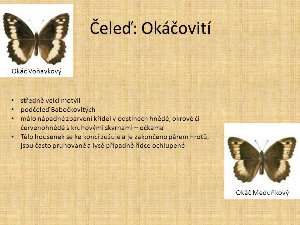 Čeleď: Okáčovití Okáč Voňavkový Okáč Meduňkový • středně velcí motýli • podčeleď Babočkovitých • málo nápadné zbarvení křídel v odstínech hnědé, okrov