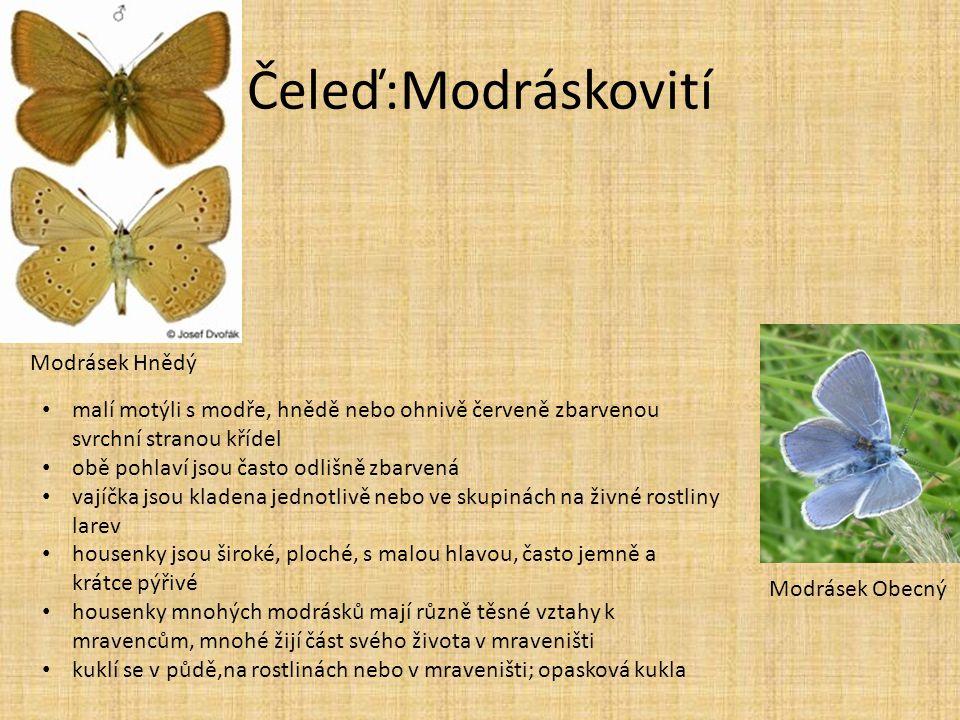 Čeleď:Modráskovití Modrásek Hnědý Modrásek Obecný • malí motýli s modře, hnědě nebo ohnivě červeně zbarvenou svrchní stranou křídel • obě pohlaví jsou