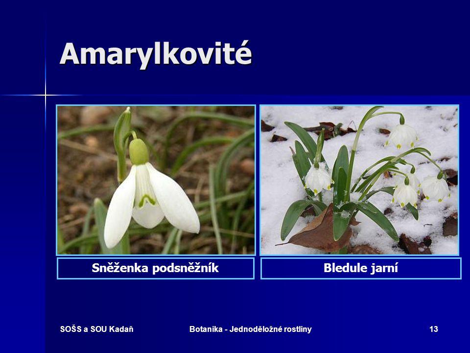 SOŠS a SOU KadaňBotanika - Jednoděložné rostliny12 Amarylkovité  Vytrvalé byliny s cibulemi nebo oddenky.  Lodyha listnatá nebo bezlistá.  Listy úz