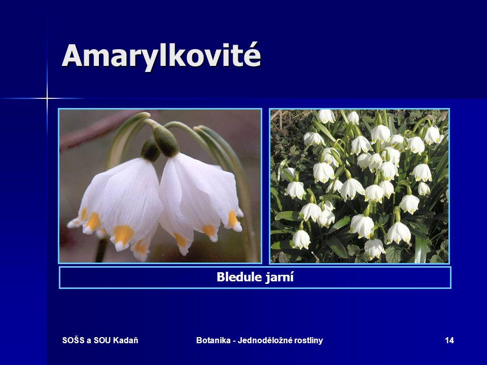 SOŠS a SOU KadaňBotanika - Jednoděložné rostliny13 Amarylkovité Sněženka podsněžníkBledule jarní