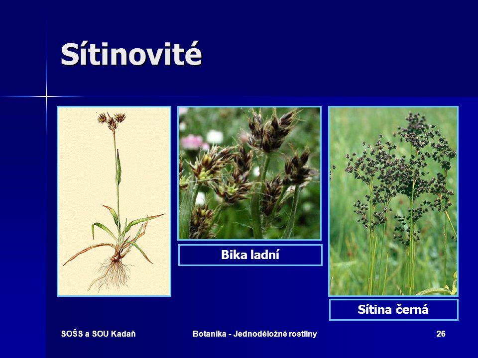 SOŠS a SOU KadaňBotanika - Jednoděložné rostliny25 Sítinovité  Byliny s čárkovitými, plochými nebo vstřícnými dutými listy s pochvou.  Květenství –