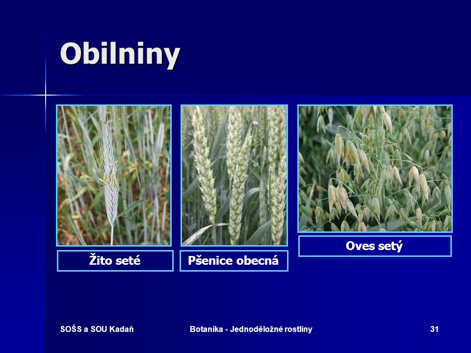SOŠS a SOU KadaňBotanika - Jednoděložné rostliny30 Obilniny   Pšenice setá, ječmen setý, oves setý, žito seté, rýže setá, proso seté, kukuřice setá,