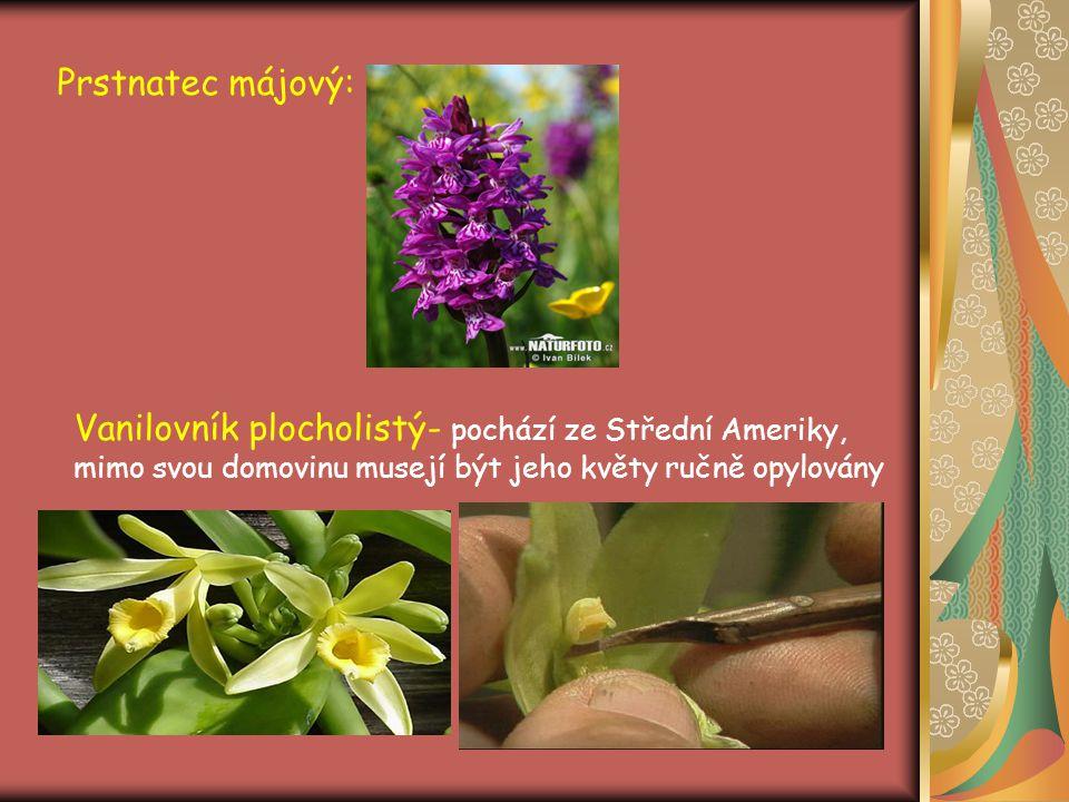 Prstnatec májový: Vanilovník plocholistý- pochází ze Střední Ameriky, mimo svou domovinu musejí být jeho květy ručně opylovány