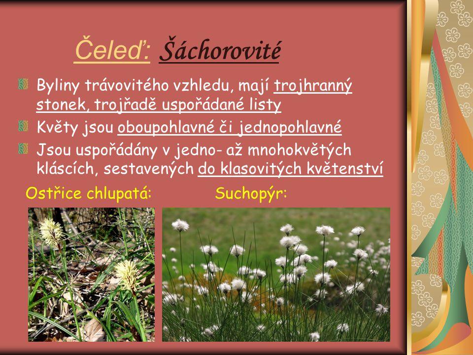 Čeleď: Šáchorovité Byliny trávovitého vzhledu, mají trojhranný stonek, trojřadě uspořádané listy Květy jsou oboupohlavné či jednopohlavné Jsou uspořád
