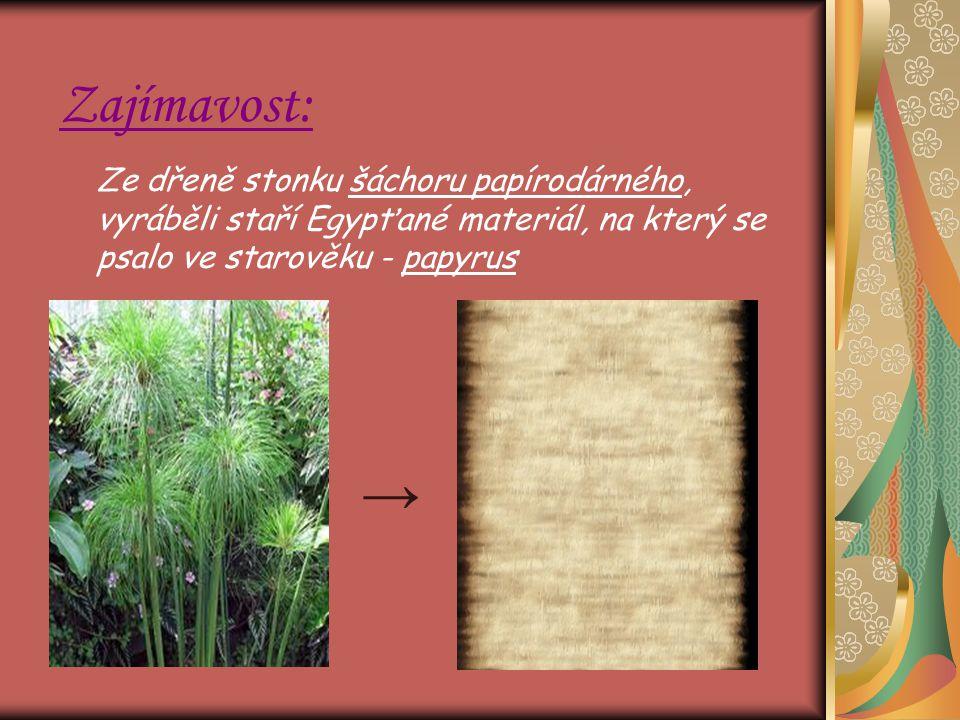 Zajímavost: Ze dřeně stonku šáchoru papírodárného, vyráběli staří Egypťané materiál, na který se psalo ve starověku - papyrus →