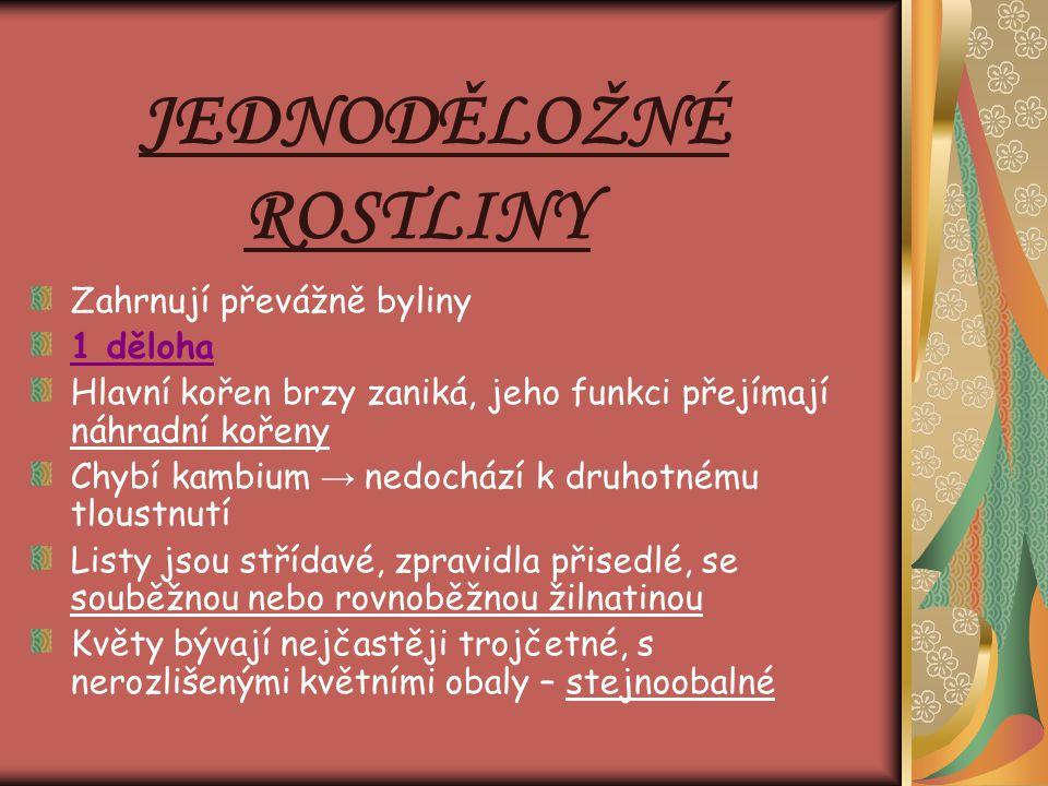 JEDNODĚLOŽNÉ ROSTLINY Zahrnují převážně byliny 1 děloha Hlavní kořen brzy zaniká, jeho funkci přejímají náhradní kořeny Chybí kambium → nedochází k dr