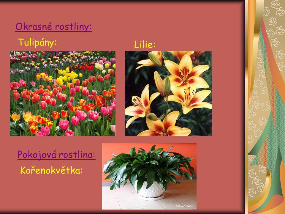 Okrasné rostliny: Tulipány: Lilie: Pokojová rostlina: Kořenokvětka: