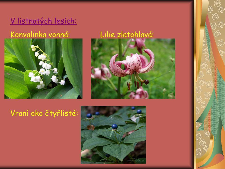Jedovatý ocún jesenní: Chráněná bělozářka větvitá: