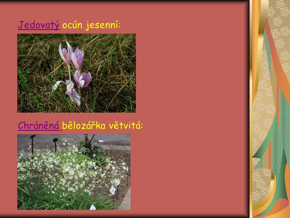 Čeleď: Vstavačovité Vytrvalé byliny s oddenky nebo kořenovými hlízami Jsou to jednak autotrofní rostliny, jednak mykotrofní paraziti Houbová vlákna pronikají do nitra kořenů → mykotrofie Květy jsou souměrné, s nápadně vyvinutým, pestře zbarveným okvětím Andreceum bývá redukováno na jedinou tyčinku Pylová zrna jsou slepena, vytváří tzv.