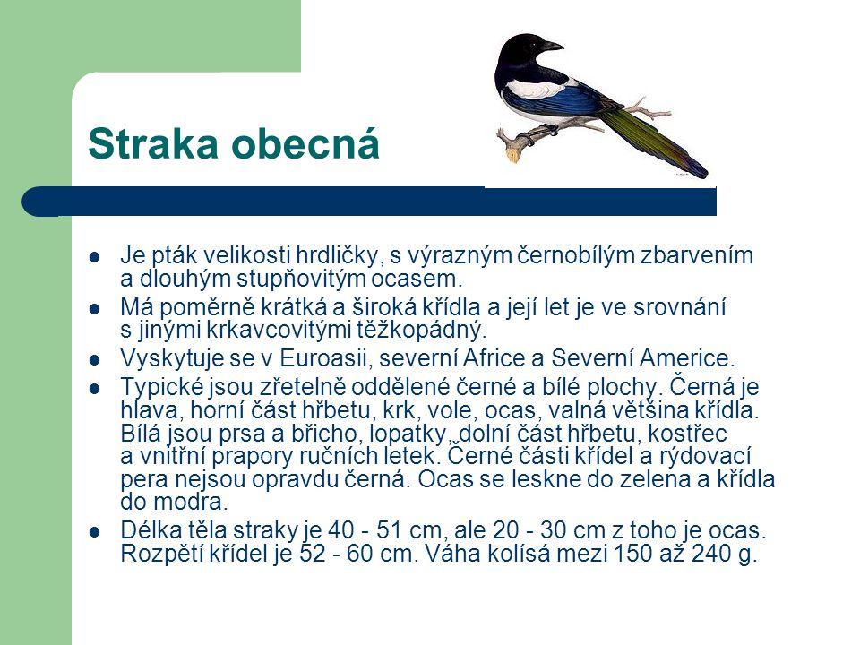 Sojka obecná  Je to pták velikosti holuba.