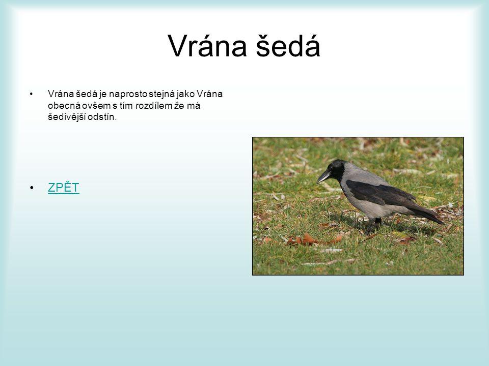 Havran polní •Je velký přibližně jako vrána, dorůstá 45 - 47 cm, váží 200 - 625 g a v rozpětí křídel měří průměrně 81 - 94 cm.
