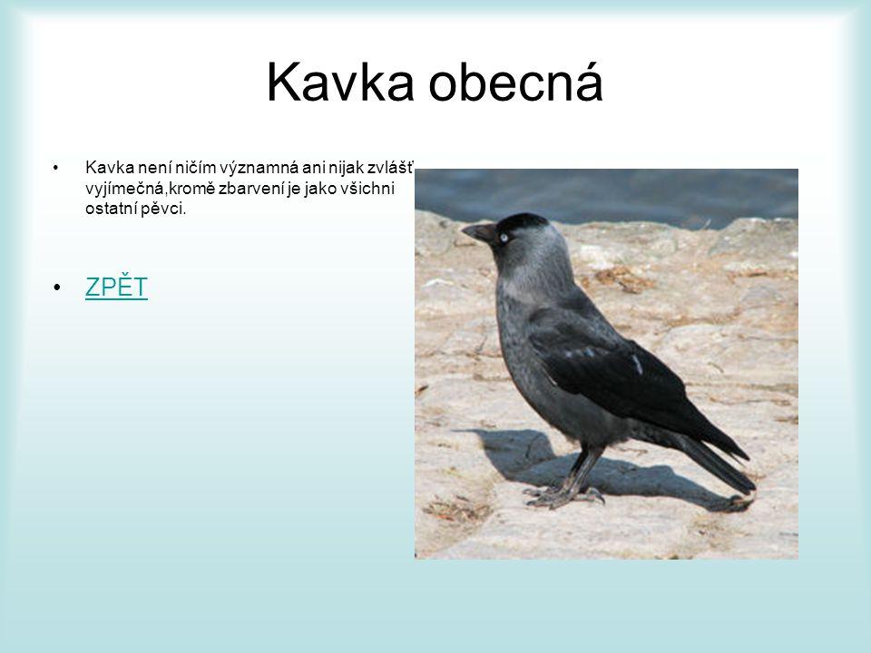Vrána šedá •Vrána šedá je naprosto stejná jako Vrána obecná ovšem s tím rozdílem že má šedivější odstín.