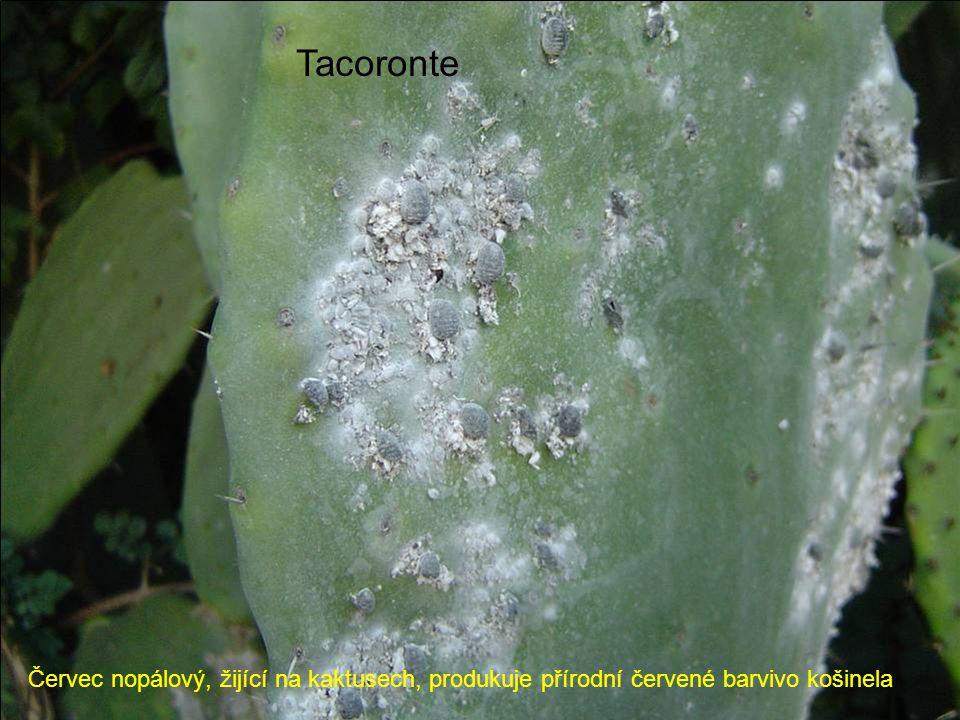 Tacoronte Červec nopálový, žijící na kaktusech, produkuje přírodní červené barvivo košinela