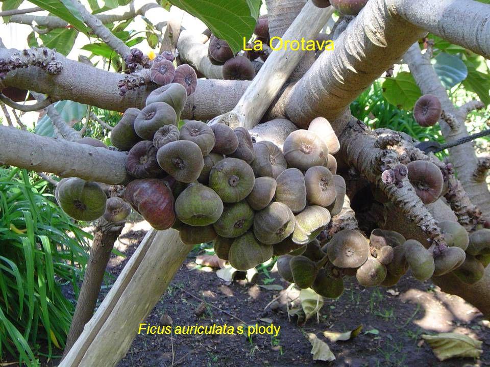 La Orotava Ficus auriculata s plody