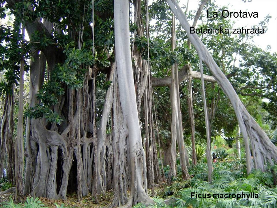 La Orotava Botanická zahrada Ficus macrophylla