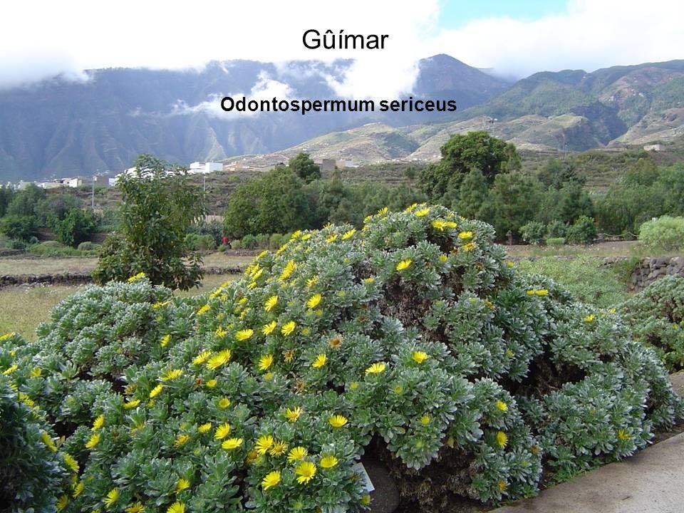 Gûímar Odontospermum sericeus