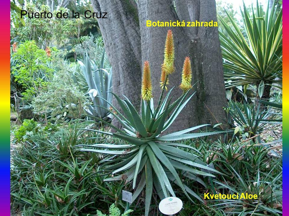 Puerto de la Cruz Kvetoucí Aloe Botanická zahrada
