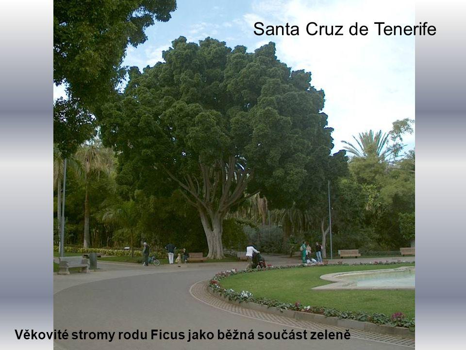 Věkovité stromy rodu Ficus jako běžná součást zeleně