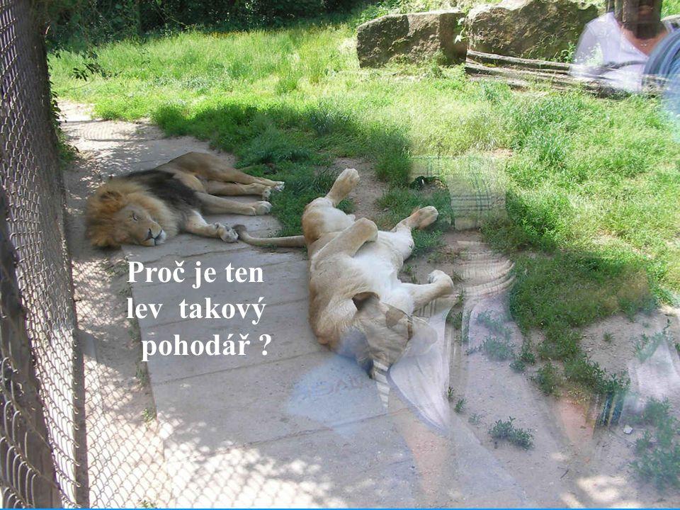 Proč je ten lev takový pohodář ?