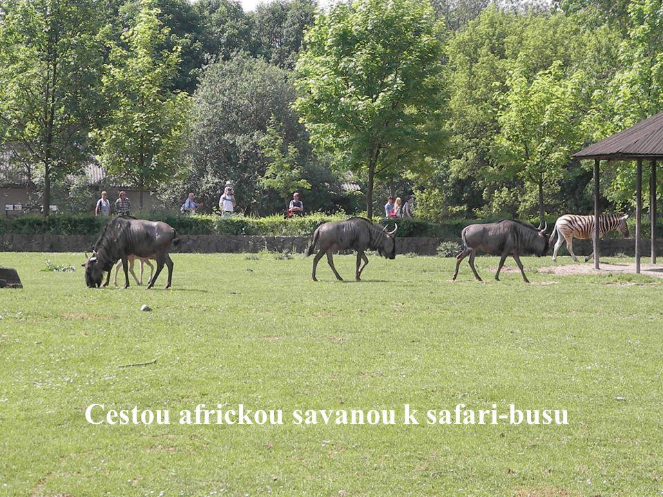 Safari bus nás provezl volně pasoucími se stády zeber, vodušek, antilop.