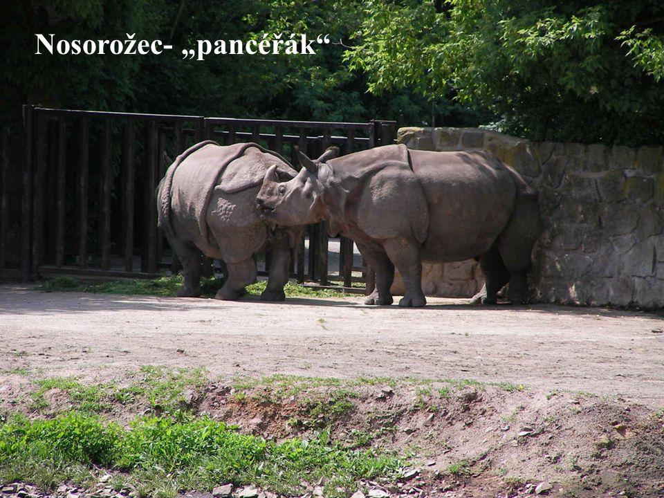 """Nosorožec- """"pancéřák"""""""