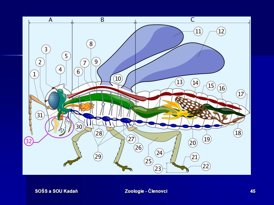 SOŠS a SOU KadaňZoologie - Členovci44 Podkmen : Vzdušnicovci  třída: Hmyz – anatomie těla (viz obrázek) A – hlava (Caput) B – Hruď (Thorax) C – Zadeč