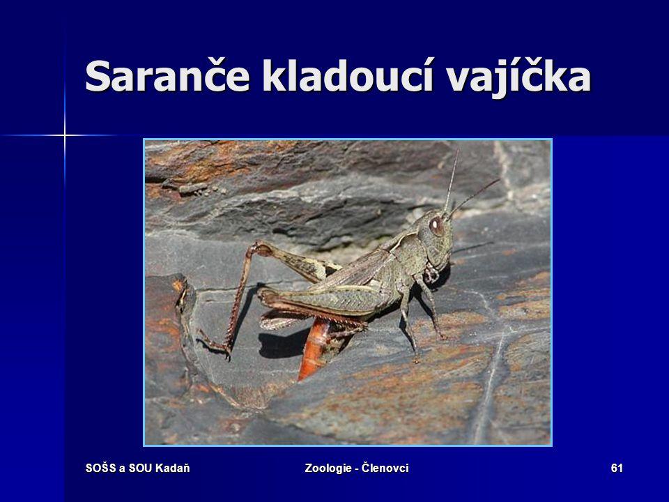 SOŠS a SOU KadaňZoologie - Členovci60 Saranče hnědé