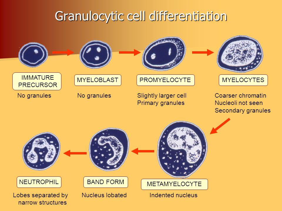 Granulocytic cell differentiation IMMATURE PRECURSOR MYELOBLASTPROMYELOCYTEMYELOCYTES NEUTROPHILBAND FORM METAMYELOCYTE No granules No granules Slight