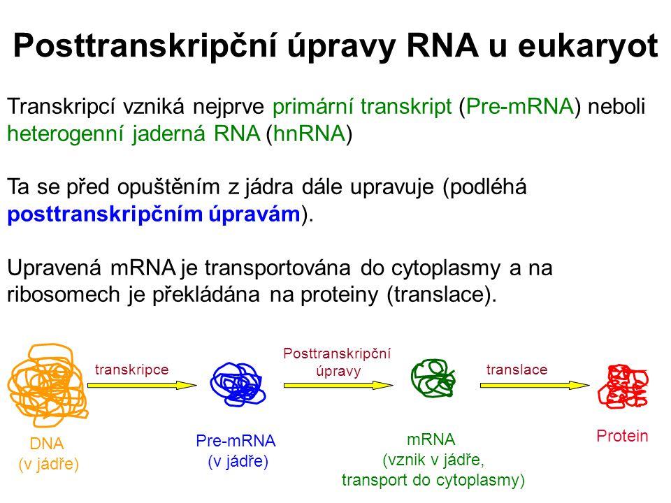Posttranskripční úpravy RNA u eukaryot Transkripcí vzniká nejprve primární transkript (Pre-mRNA) neboli heterogenní jaderná RNA (hnRNA) Ta se před opu