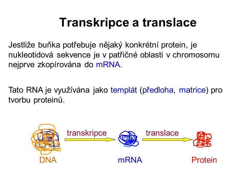 Transkripce: • gen se přepisuje do RNA • začíná rozvolňováním krátkého úseku DNA • jeden z řetězců DNA slouží jako templát pro syntézu RNA • transkripce DNA mRNA Dvoušroubovice DNA Transkripce - úvod